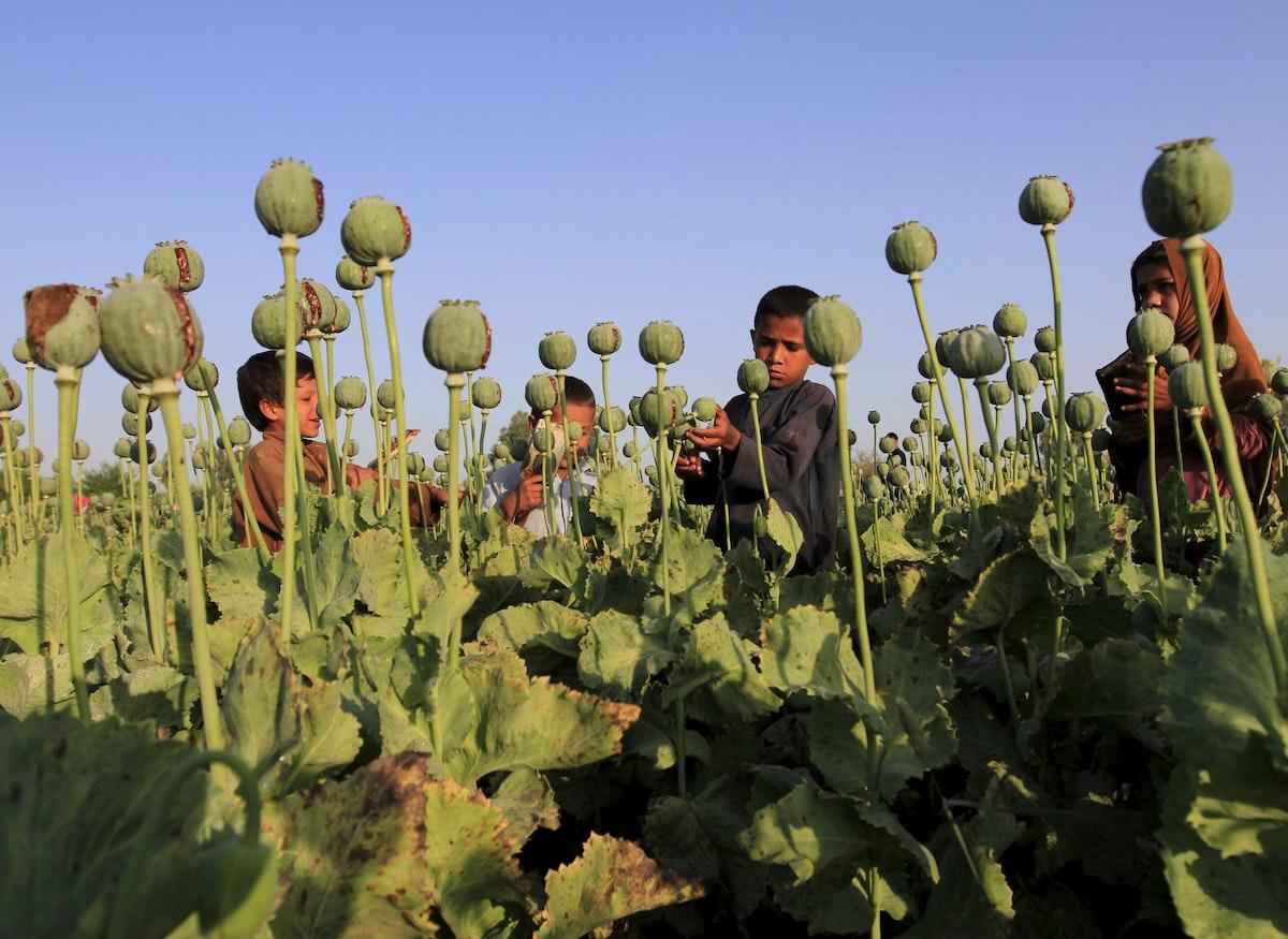 أطفال أفغان يجمعون الأفيون الخام في حقل بضواحي جلال آباد - REUTERS