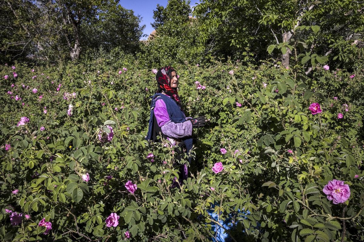 إحدى جانيات الورد في حقل من حقول قلعة مكونة بجبال الأطلسي المغربية يوم 26 أبريل 2021 - AFP