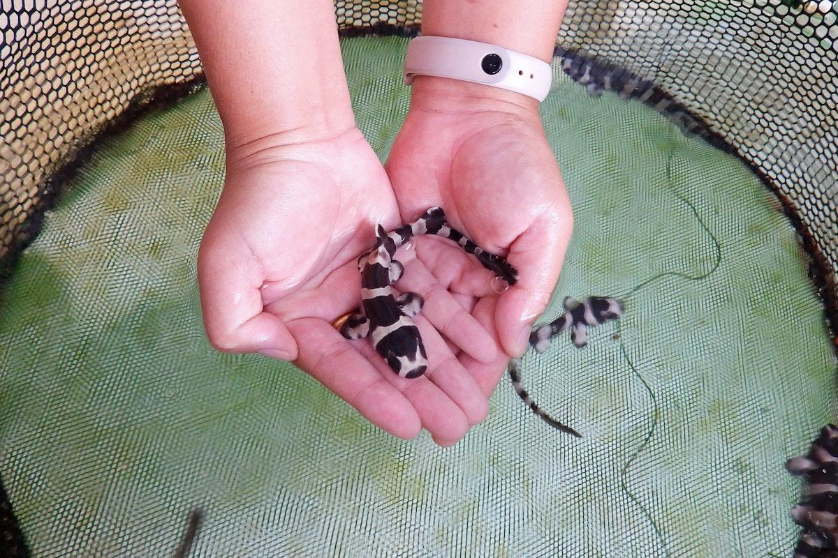 ناشط في مجال حفظ البيئة يحمل سمكة قرش الخيزران قبل إطلاقها في البحر - REUTERS
