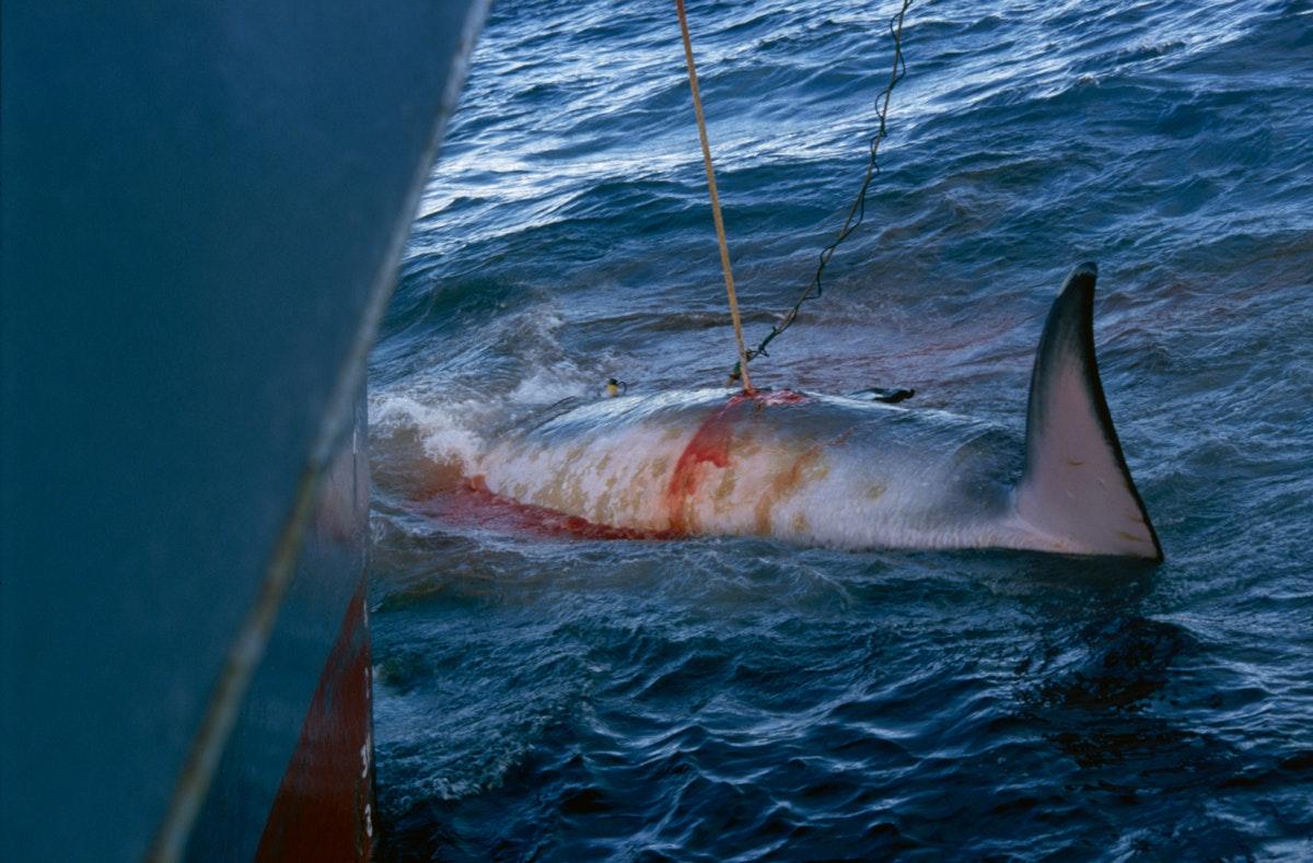 عملية صيد حوت يصطاد بواسطة سفينة يابانية تجري بحثًا علميًا في القطب الجنوبي  - Getty Images