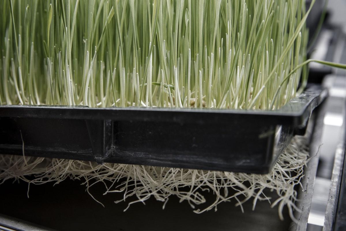 عشب القمح في وحدة زراعية عمودية تديرها شركة تكنولوجيا في بكين - 19 يناير 2017 - Bloomberg