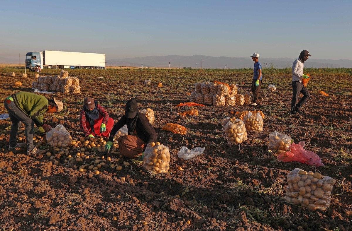 مزارعون يفرزون البطاطا المحصودة في حقل في منطقة بردرش، بالقرب من مدينة دهوك شمالي العراق - 8 يونيو 2021 - AFP