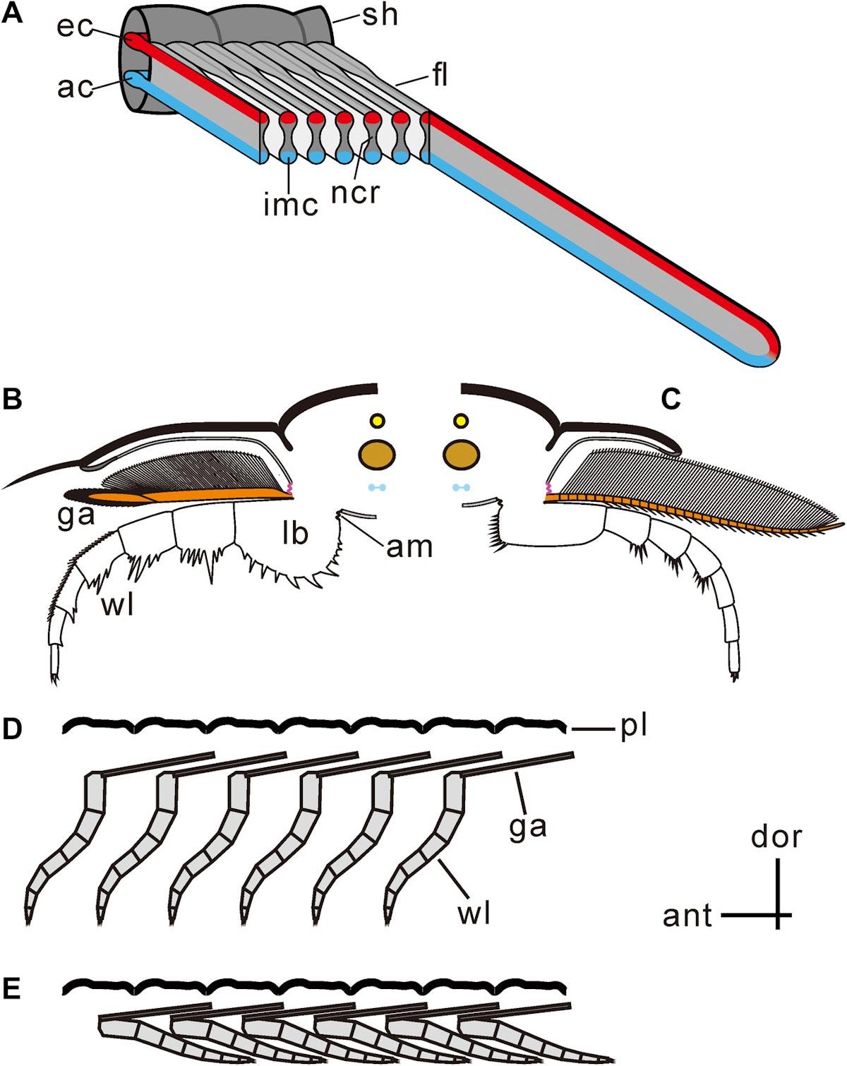 صورة حاسوبية تظهر مقاطع مرسومة للحفرية توضح الزوائد التي استخدمها الكائن القديم في التنفس والموزعة على كامل الساق - sciadv