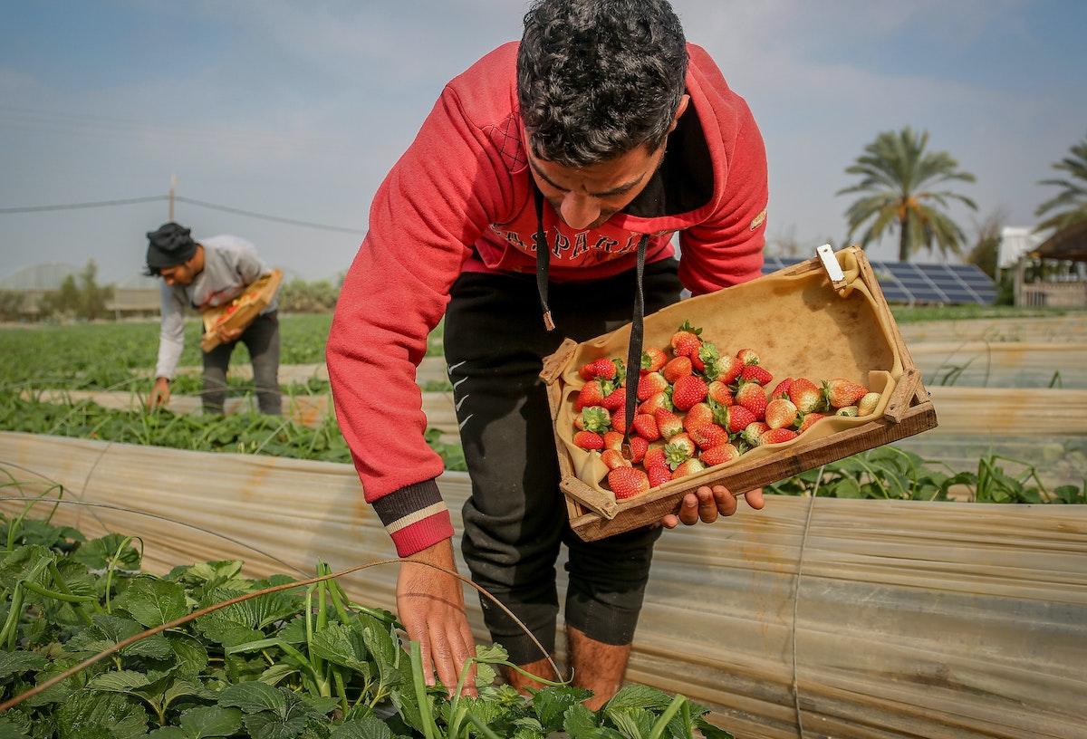 مزارع فلسطيني يقطف ثمار الفراولة في منطقة بيت لاهيا شمال قطاع غزة، 29 ديسمبر 2020 - الشرق