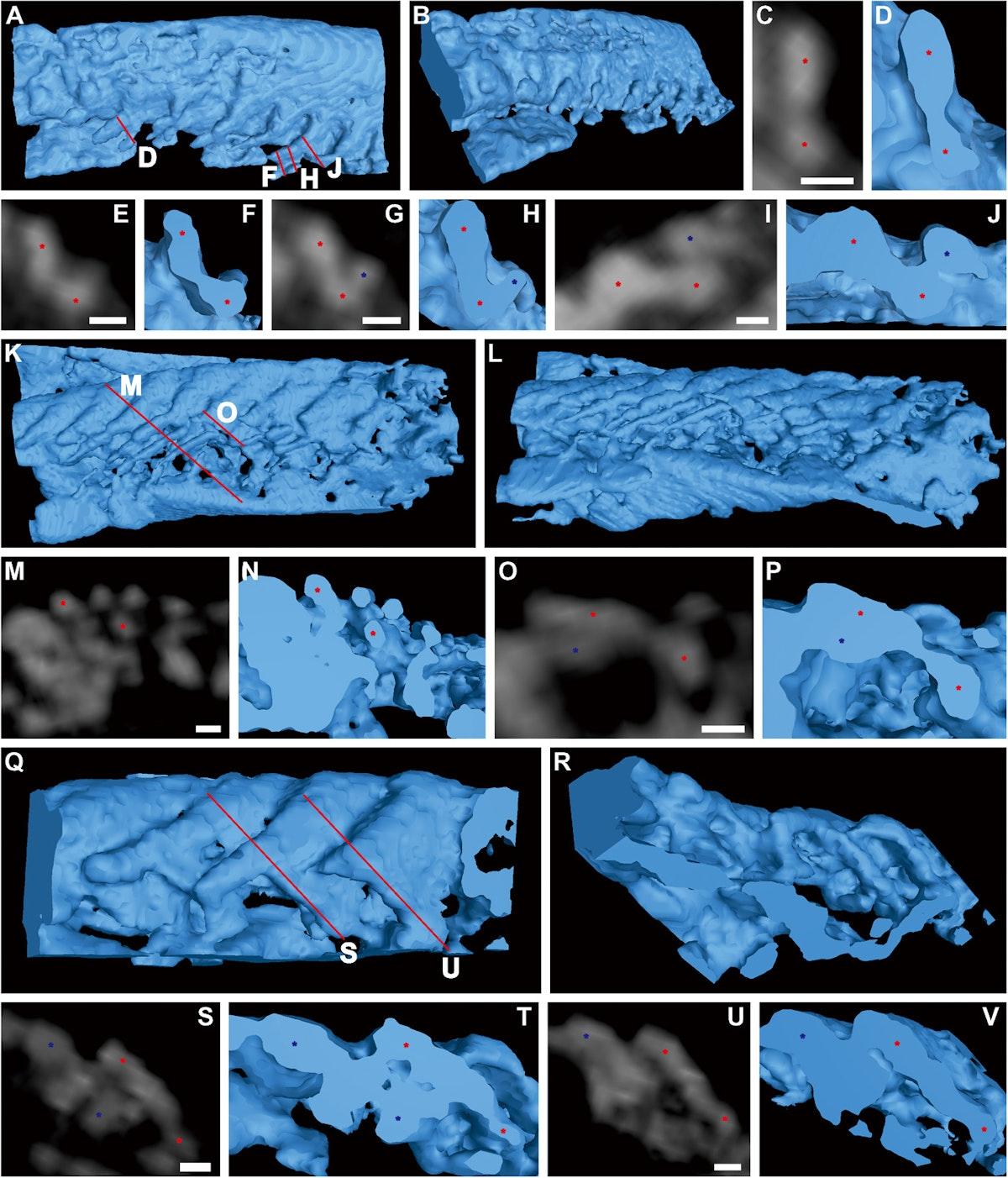 تصوير مقطعي محوسب يظهر تفاصيل خيوط الحفرية التي يبلغ عرضها ٣٠ ميكرون والموزعة على الجانب الخلفي العلوي من الحفرية. - sciadv